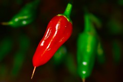 Chilli peppers (mccarrellkyle) Tags: homegrown peppers chilli hot red