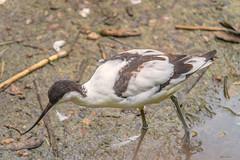 AVOSETTA IN PESCA    ----    PIED AVOCET FISHING (Ezio Donati is ) Tags: uccelli birds animali animals acqua water fango mud natura nature italia parcodelticino provinciadipavia