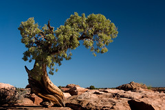 A twisted tree at Island in the Sky sandstone formations at Canyonlands National Park in Utah, USA (Al Varty) Tags: islandinthesky sandstone formations canyonlands national park utah usa twistedtree pine