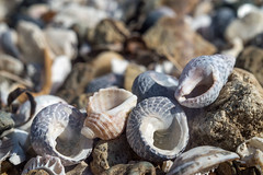 Beach apertures (OzzRod) Tags: pentax k1 industar61lzmc50mmf28macro индустар61лз 52project2018 aperture macro shells mollusc gastropod bokeh uncropped aragunnu