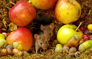 Wild garden house mouse in a Autumn  setting  (5)