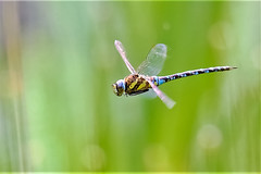 dragonflight (Paul Wrights Reserved) Tags: dragonfly dragonflies dragonflyinflight flying fly flight inflight flyinginsect flyinginsects colour bokeh wings action actionphotography nature macro