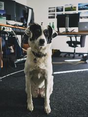 37/52 hard working dog (frau_k) Tags: office dog buba k 52weeksfordogs18