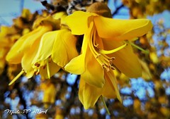 470. SPRING IS UNDERWAY: Cheerful Kowhais (Meili-PP Hua 2) Tags: flowers petals buds blossoms blooms flora spring trees springflowers yellow yellowflowers macro bright closeup stamens stigmas mlpphflora photographypassionsxyz