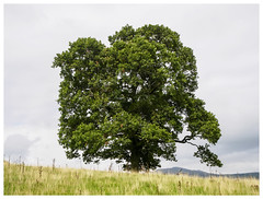 The tree, Lake District, England [1442] (my.travels) Tags: tree nature lake district england unitedkingdom greatbritain olympus penf