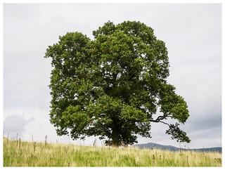The tree, Lake District, England [1442]