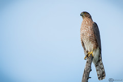 Watch Me... (Sudipta.B) Tags: coopers hawk bird perch talons branch john heinz wildlife refuge philadelphia pennsylvania briding goldenhour predator sudiptabphotography