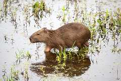 Capybara (Hydrochoerus hydrochaeris) (Sergey Pisarevskiy) Tags: bolivia southamerica animals wildnature wildlife capybara hydrochoerushydrochaeris