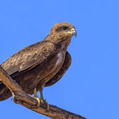 lagoon creek - a black kite (Fat Burns ☮ (gone bush)) Tags: blackkite milvusmigrans kite raptor wildlife australianwildlife australianbird finch smallbird bird australianfauna fauna malebird nikond500 nikon200500mmf56eedvr outdoors nature lagooncreek barcaldine queensland australia