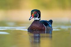 Wood duck / Canard branchu (Aix sponsa) (Jean-Maxime Pelletier) Tags: bird reflexion wildlife woodduck canardbranchu aixsponsa