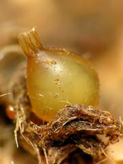 Earthworm Egg (treegrow) Tags: newzealand nature lifeonearth raynoxdcr250 annelida haplotaxida