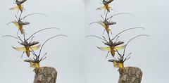 Psacothea hilaris taking off, stereo parallel view (Mushimizu) Tags: psacotheahilaris beetle longicornbeetle キボシカミキリ stereo 3d parallel