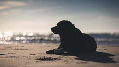 At rest. (Marcus Legg) Tags: max canon eos black blacklabradorretriever bokeh beach sea sunset tennisball dog chilled labrador lab sand sun