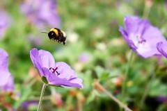 Bee with a purple flower (aLittleCoyote) Tags: bee flower purple garden nature plants flowers belfast botanic