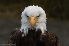 An eagle with attitude (Susan Newgewirtz /Off for a while) Tags: nikon nikond850 wildlifephotography raptor eagle americanbaldeagle bird nature 2018