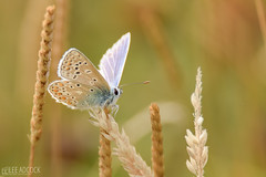 Common Blue (lee adcock) Tags: 2018 tamron150600g2 butterfly closeup commonblue cornwall nature nikond7200