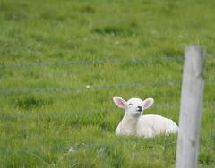 Little Lamb on Orkney (joiseyshowaa) Tags: baby wool farm animal field cute ears white meadow