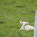 Little Lamb on Orkney