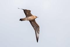 Arctic Skua (Simon Stobart) Tags: arctic skua juvenile light morph stercorarius parasiticus flying north east england uk naturethroughthelens