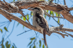 Kookaburra on a branch (Merrillie) Tags: kingfishers beak laughingkookaburra nature australia birds australian native newsouthwales animal kingfisher wild wildlife tree laughing perch bird nsw outdoors animals fauna centralcoast kookaburra branch