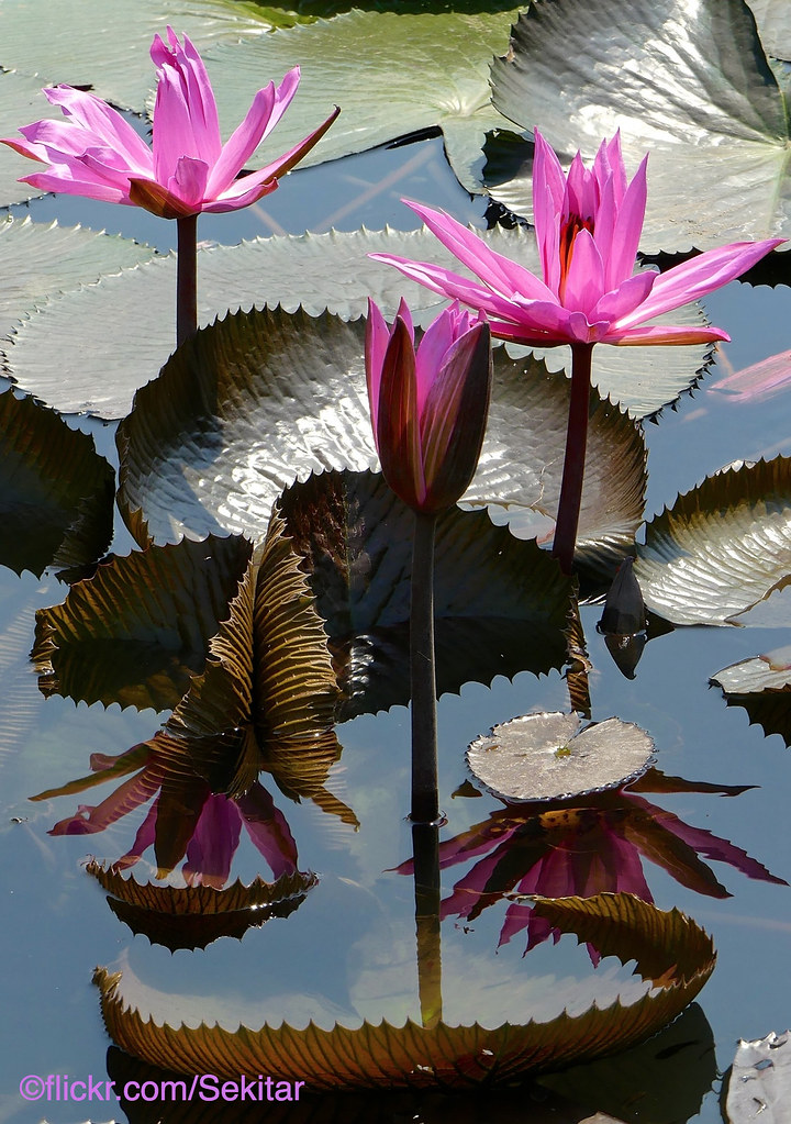 Unduh 8000 Wallpaper Bunga Teratai Cantik HD Paling Baru