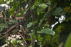 Red-whiskered Bulbul (Pycnonotus jocosus) (kevinvarzoos) Tags: rotterdam zoo diergaarde blijdorp bulbul bird