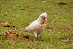 On the Rampage (adamsgc1) Tags: longbilledcorella corella bird australianbird nastybadtemperedbird noisy numinbahvalley queensland australia