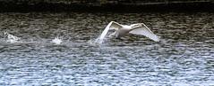 Hop, Skip, Jump (pootlepod) Tags: canon60d closeup candid colour contrast black birds swans stokegabriel water sea gulls flight beauty speed rspb nature wildlife wings beat flaps devon lake pool launch splashing neck natural fauna habitat