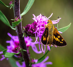 Nothing Better (Portraying Life, LLC) Tags: dbg6 da3004 hd14tc k1mkii michigan pentax ricoh unitedstates butterfly closecrop handheld nativelighting skipper leonardspreserve meadow dryprairie uncommon