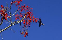 Beija-flor-preto (Márcia Valle) Tags: inverno nature natureza brasil brazil interiordobrasil florabrasileira brazilianflora márciavalle nikon winter d5100 tree árvore flores flowers beijaflor beijaflorpreto hummingbird ave bird