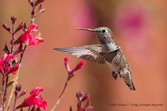 Hummingbird 2 (nathantw) Tags: bird hummingbird green nectar pollinator nathantw nathantwong nikkor 400mm f56 edif ais d810 nikon