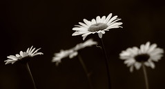 The Daisy Chain (jttoivonen) Tags: nature flower plant daisy blackandwhite monochrome bokeh summer finland creativecommons outdoors detail contrast vintagelens