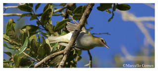 Red-eyed Vireo (Vireo olivaceous) REVI - Checking me out
