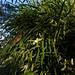 2016-09-27 Bicheno Lookout Rock 20 - Dockrillia striolata - Yellow rock orchid flowers