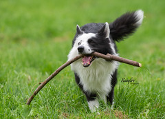 Look What I Found!! (Rainfire Photography) Tags: bordercollie dog stick fetch grass heterochromia run nikon d7200