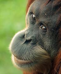 sumatran orangutan Berlin Zoo JN6A7528 (j.a.kok) Tags: aap ape animal azie asia orangutan orangoetan sumatraanseorangoetan sumatranorangutan mammal monkey mensaap zoogdier dier berlijn berlijnzoo