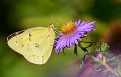 Orange Sulphur (JDA-Wildlife) Tags: butterfliesetc nikon nikond7100 tamronsp150600mmf563divc jdawildlife johnny closeup butterfly butterflysulphurorange orangesulphur
