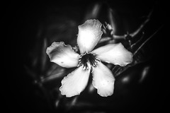 Petals of September (LUMEN SCRIPT) Tags: blur unsharp softfocus flora blackandwhite monochrome lowkey plant flower nikond3300