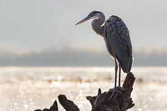Blue Heron (ayres_leigh) Tags: heron morning nature wildlife canon