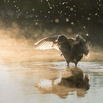 Coot in the Light thumbnail
