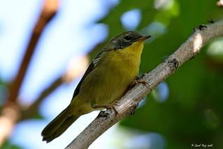 1.27712 Paruline masquée (mâle immature) / Geothlypis trichas trichas / Common Yellowthroat