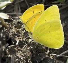 Three Amigos (MJRodock) Tags: sulphur butterfly lepidoptera yellow olympus em5markii mzuiko 40150mm f28 insect