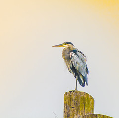 Blue Silhouette. (Omygodtom) Tags: wildlife blueheron silhouette nature natural nikon dof bird portrait pose gold 7dwf 7wxyz outside usgs usg