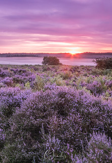 New Forest purple heather (Explored)
