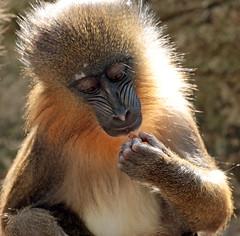 mandrill artis JN6A4743 (j.a.kok) Tags: animal artis africa afrika aap primate primaat mammal monkey mandril mandrillussphinx mandrill zoogdier dier