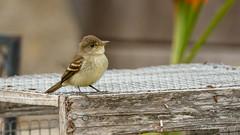 Willow Flycatcher (Bob Gunderson) Tags: birds california empidonaxflycatchers empidonaxtraillii flycatchers fortmason northerncalifornia sanfrancisco willowflycatcher