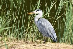 Heron in the sunshine (karen leah) Tags: heron bird nature wildlife outdoors cilgerran cardigan