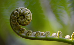 Rolling into Spring (setoboonhong) Tags: nature fern uncurling foliage leaves spring sunny day depth field close up green bokeh blur piano song chopin springwaltz melbourne botanical garden outdoor plant