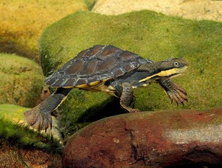 Juvenile Manning River Helmeted Turtle (Wollumbinia purvisi)