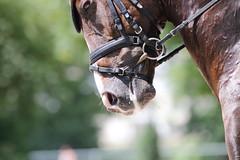 _MG_9488 (dreiwn) Tags: dressurprüfung dressurreiten dressurpferd ridingarena reitturnier reiten reitplatz reitverein reitsport ridingclub equestrian horse horseback horseriding horseshow pferdesport pferd pony pferde tamronsp70200f28divcusd dressur dressuur dressyr dressage